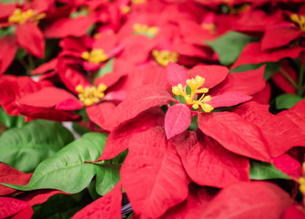 Beautiful red christmas flower poinsettia hanging on market in thailand