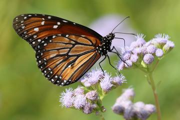 Soldier Butterfly - Danaus eresimus