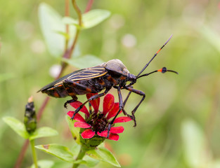Deadly kissing bug Mexico. Blood sucker,  infection is known as Chagas disease. Bugs infected with the parasite Trypanosoma cruzi are extremely dangerous to humans and can cause eventual death.