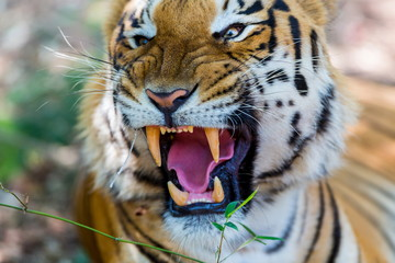 Tiger growling in a national park in India. These national treasures are now being protected, but due to urban growth they will never be able to roam India as they used to.