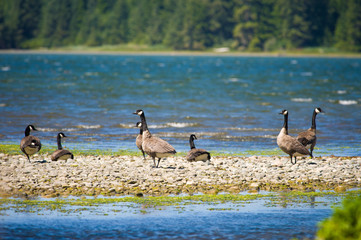 Canada Geese (Brenta canadensis) on Vancouver Island