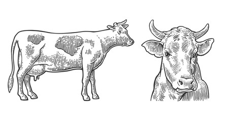 Cows. Hand drawn in a graphic style. Vintage vector engraving illustration for info graphic, poster, web. Isolated on white background.