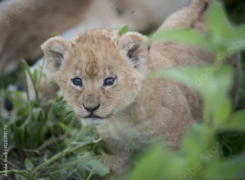 Newborn Lion Cub