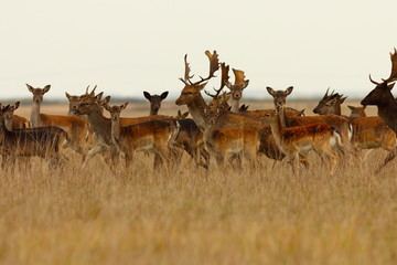 large herd of fallow deers