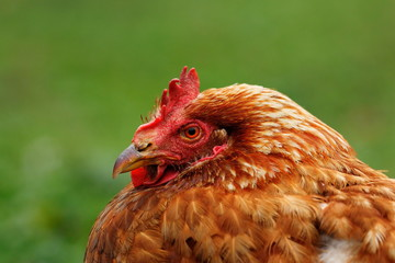 portrait of brown hen