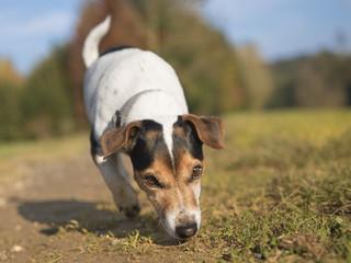 kleiner Hund verfolgt eine Fährte - Jack Russell Terrier