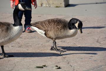 Wild Gooses