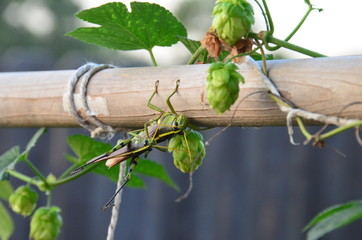 Grasshoppers mating in hop vines