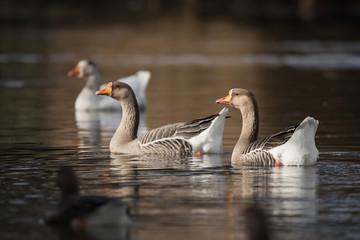 Domestic Goose, Cross Goose, Swan Goose and Greylag Goose hybrid