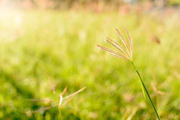 Grass flower on green grass in the morning. Selective focus.