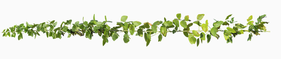 vine plants isolate on white background, clipping path included.