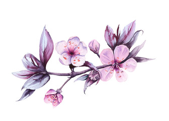 Branch with cherry flowers. Isolated on a white background. watercolor illustration.