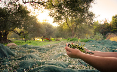 Woman keeps some of the harvested fresh olives in a field in Crete, Greece for olive oil production, using green nets, at sunset. Wall mural