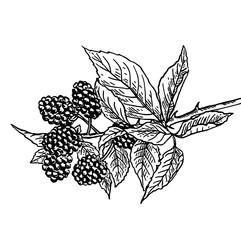рисунок шелковице на веточке с листвой