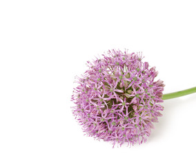 Beautiful Blooming Purple Allium, onion flower isolated on a white background,
