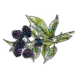 веточка спелой ягоды шелковицы