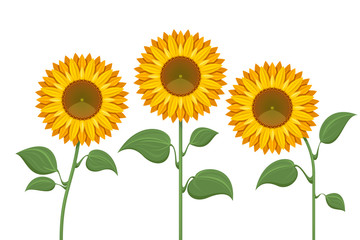 Yellow sun flowers on white background. Sunflowers for spring invitations and summer greeting cards