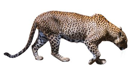 In de dag Luipaard Leopard walking