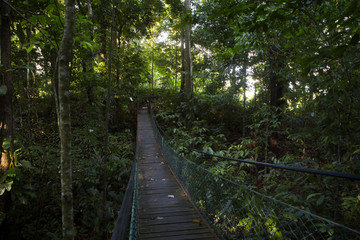 wood bridge for a walk on evergreen forest Located on altitude