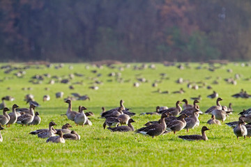 Flock of Bean geese   (Anser fabalis), eating grass in a meadow