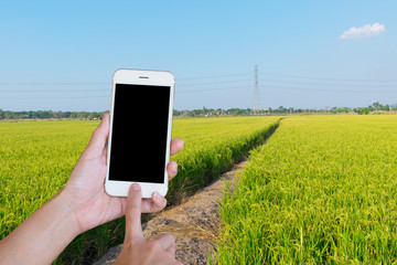 Hands woman holding touch screen smart phone,tablet on rice  green fields and blue sky background.
