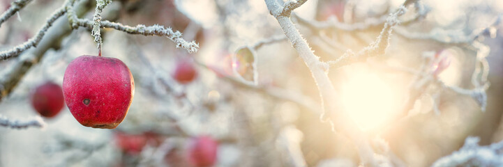 Apples and Hoar Frost