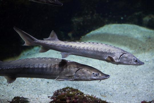 European sea sturgeon (Acipenser sturio)
