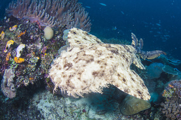 Wobbegong shark in Raja Ampat