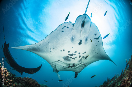 Oceanic manta ray in Raja Ampat, Indonesia