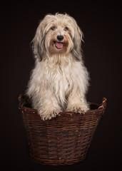 havanese dog portrait