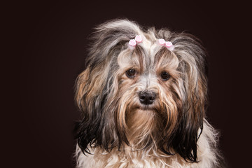 havanese dog portrait