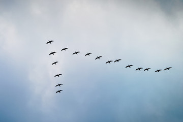 Cormorants flying in a V formation against the cloudy sky.  Wall mural