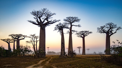 Baobab Alley at dawn - Madagascar, 4K resolution 16x9 ratio