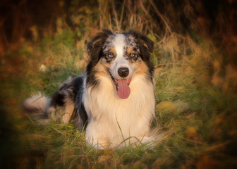 australian shepherd gog portrait