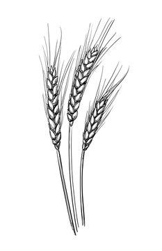 Hand drawn vector illustration of wheat