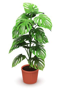 Monstera plant in flower pot
