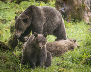 Brown Bear Mom and Cubs, Anan Creek