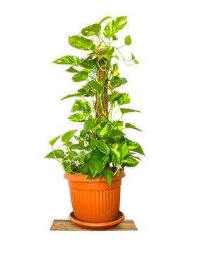 Epipremnum aureum,Pothos,Pothos in pots / potted ficus plant isolated on white background / House Plant potted plant isolated on white.