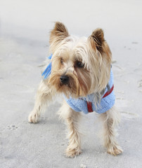 Yorkshire Terrier in the beach wearing clothes