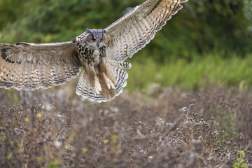 Wall Mural - European Eagle Owl in Flight