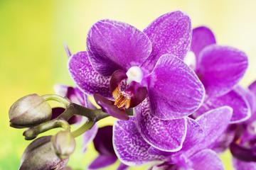 Flowers - Orchidea, Orchid