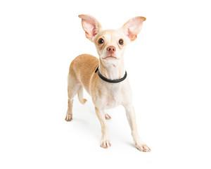 Chihuahua Dog Big Ears Over White