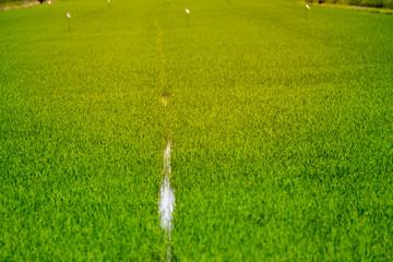 Row of rice field.