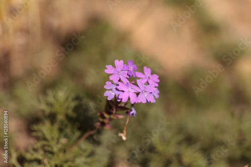 Tiny purple lantana flowers grow in the desert of for Best flowers to grow in california
