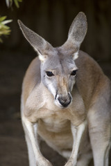 Red Kangaroo portrait