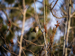 Hermit Thrush among branches in spring
