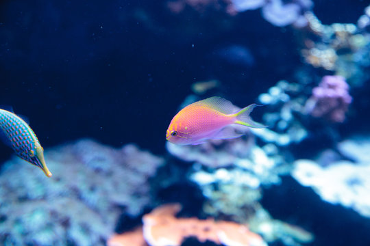 Pink Bicolor anthias fish Pseudanthias bicolor swims over a coral reef in the ocean.
