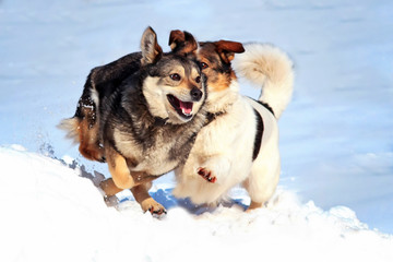 Two happy dogs run and play in the snow in the winter