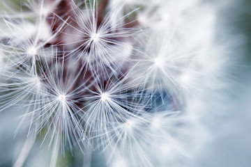 delicate background of white soft and fluffy seeds of the dandelion flower