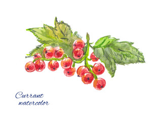 redcurrants watercolor